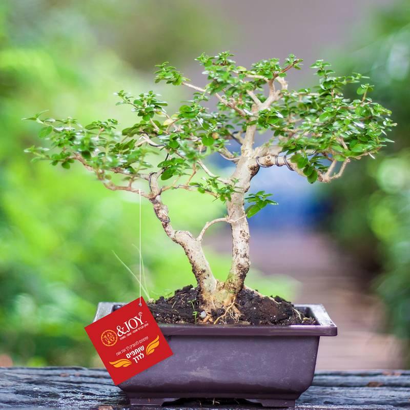 איך מטפלים בעציצי בונסאי כדי שיישארו לאורך זמן