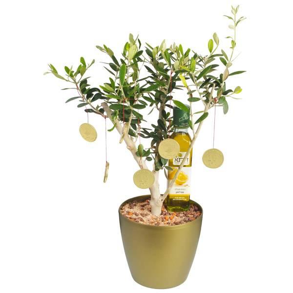 התמונה הראשית של עץ זית לחנוכה