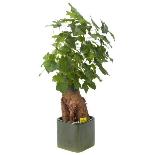 עץ אהבה גודל 7