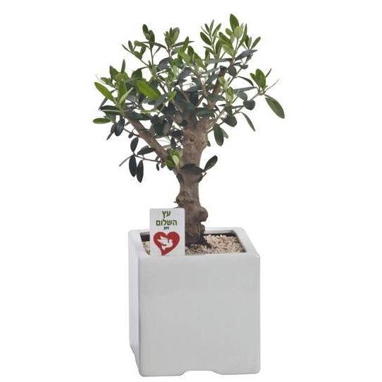 התמונה הראשית של עץ זית ננסי בכלי קרמיקה 13*13