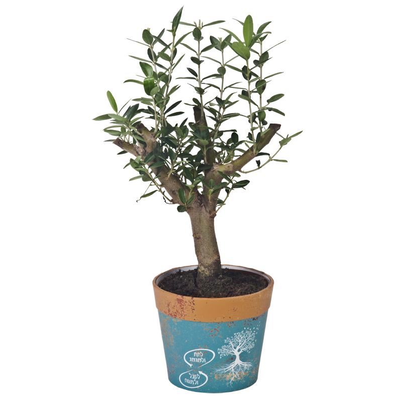 התמונה הראשית של עץ זית בעציץ חברתי רגיל